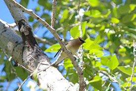 Cedar waxwing (Photo by Christine Beevis Trickett/NCC staff)