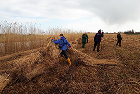 Clearing reed bed vegetation (Photo courtesy of Megan Quinn/NCC staff)