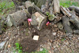 To collect termites, traps consisting of a cardboard roll and plywood lid were buried in areas of active termite activity and re-checked after two weeks. The above photo shows a trap set in an old woodpile beside NCC's Ivey Research Station. (Photo by Vicki Simkovic)