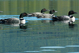 Common loons (Photo by © Fran West, CC BY-NC-ND 2.0)
