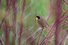 Common yellowthroat (Photo by Cameron Curran Photography)