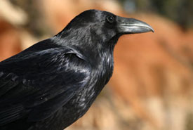 Common raven (Photo by pcb21, Wikimedia Commons)