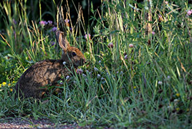 A cottontail among a red clover and black medic clover patch (Photo by Mike Dembeck)