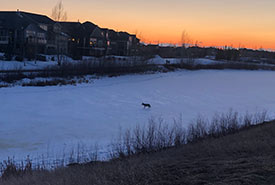 Coyote walking on the frozen pond (Photo by Christine Beevis Trickett/NCC staff)