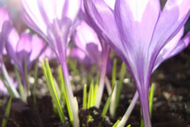 Crocuses in spring (Photo by CBT/NCC staff)