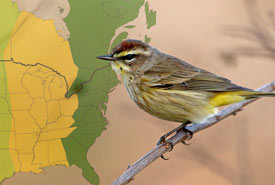 Palm warbler (Collage by One Sky Our Birds)