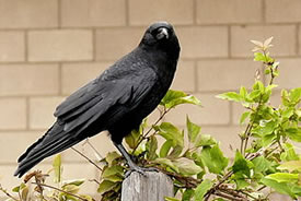 Crow (Photo by Linda Tanner, Wikimedia Commons)