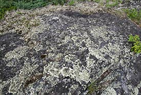 Crustose lichens grow on rock outcrops in places like Whiteshell Provincial Park, MB. (Photo courtesy of Manitoba Museum)