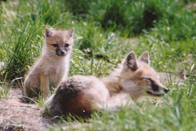Swift fox cub and its mum (Photo by Catriona Matheson, Cochrane Ecological Institute)