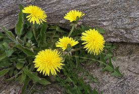 Dandelions (Photo by Randi Hausken)