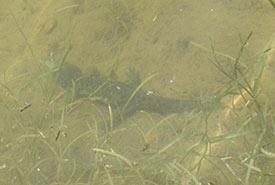 A dark salamander submerged under some sticks (Photo by Sherry Nigro)