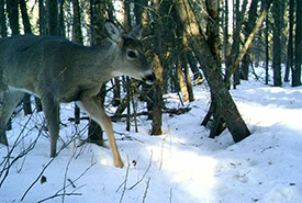 Deer caught on trail cam (Photo by NCC)