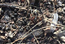 White-tailed deer scat (Photo by Chase Wastesicoot)