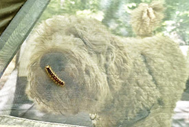 My partner's pup, Fergus, sniffing out a caterpillar through the tent mesh screen (Photo by Jensen Edwards/NCC staff)