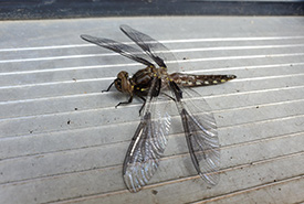 My 2.5-year-old found a common whitetail dragonfly resting on our doorstep (Photo by Wendy Ho/NCC staff)