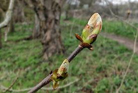 Willow bud (Photo by velodenz CC BY-NC-ND-2.0)