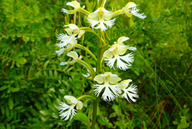 Eastern prairie white-fringed orchid (Photo by NCC)