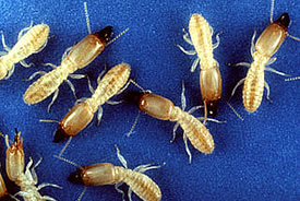 Eastern subterranean termite (Photo by United States Department of Agriculture, Wikimedia Commons)