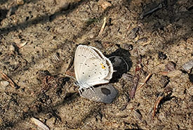 Eastern tailed-blue perched on a small rock. A wet spot on the rock was created by liquid dripping from the butterfly's abdomen. (Photo by Wendy Ho/NCC staff)