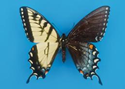 Eastern tiger swallowtail (Photo by James K. Adams)