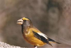 Evening grosbeak (Photo by Anna Tchoulik)