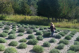 Evening picking lavender at Doug Finley and Emily Arturi's field. (Photo by Simon Heath)