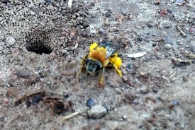 Female squash bee near its nest entrance (Photo by Margaret Chan)