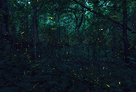 Fireflies (Photo by Zach Baranowski CC BY-NC-ND)