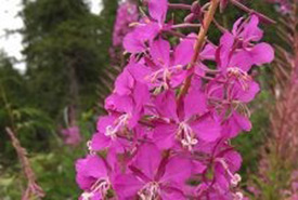 Fireweed is one of the first plants to establish itself in newly burned areas of the boreal forest. (Photo by Alina C. Fisher)