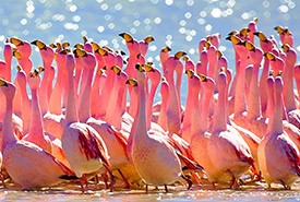 Flamingos (Photo by Pedro Szekely, CC BY SA)