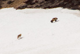 Wolverine going up the esker as the red fox trails behind (Photo by Claire Elliott)
