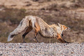 Red fox stretching (Photo by Claire Elliott)