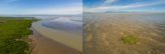 Magnificent landscapes in the Fraser River estuary. Photo on the right shows eelgrass, a critical component of the Fraser River estuary. The majority of commercial fish and shellfish depend on it for part of their life cycle. South Coast Fraser Estuary supports one of the most extensive and contiguous eelgrass communities globally. (Photo by Fernnado Lessa)