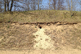 Freshly dug classic badger burrow. (Photo by J. Sayers, Ontario Badger Project)