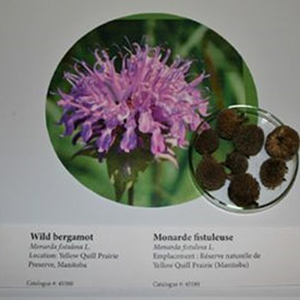 The fruits and seeds of each species are displayed on top of a picture of the flower. (Photo courtesy of Manitoba Museum)