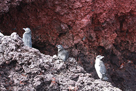 Galapagos penguins (Photo by Jeff Verberne)