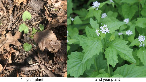 First year (left) and second year (right) garlic mustard plants. (Photo courtesy of Invasive Species Centre)