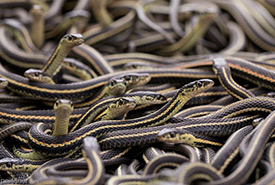 Garter snakes (Photo by Neil Fisher)