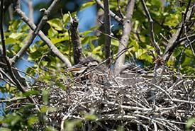 Great blue heron nest full of chicks. (Photo by Fernando Lessa)