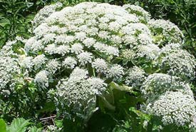 Giant hogweed (Photo by Wikimedia Commons)