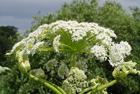 Giant hogweed (Photo by Henry Clark)