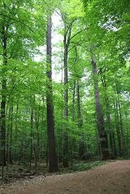 Gillies Grove trees (Photo by Asha Swann/NCC intern)