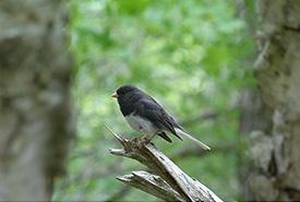 Dark-eyed junco at Shaw Wilderness Park (Photo by Katie Diespecker)