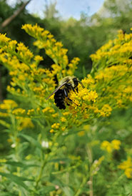 A bumble bee foraging on goldenrod flowers (Photo by Wendy Ho/NCC staff)
