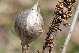 Goldenrod gall fly gall in Guelph, Ontario (Photo by Ryan Hodnett via Wikimedia Commons, CC BY-SA 4.0)