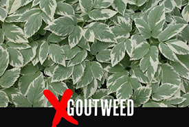 Goutweed (Photo by Leslie J. Mehrhoff/University of Connecticut/Bugwood.org)