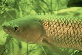 Grass carp (Photo by Eric Engbretson, USFWS)