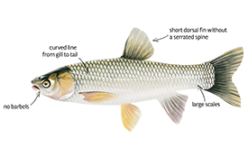Grass carp ID features (Image by the Invasive Species Centre)
