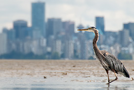 Great blue heron with a cityscape in the background (Photo by iStock)