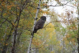 Grey grey owl on an aspen tree (Photo by NCC)